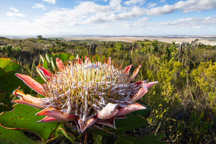 King Protea Flowers on fynbos covered hillside