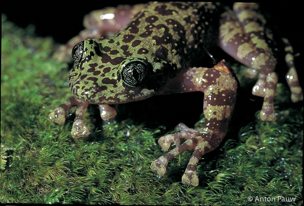 the ghost frog The heleophrynidae are a family of order anura, commonly known as ghost frogs  the family consists of two genera, heleophryne and hadromophryne, with.
