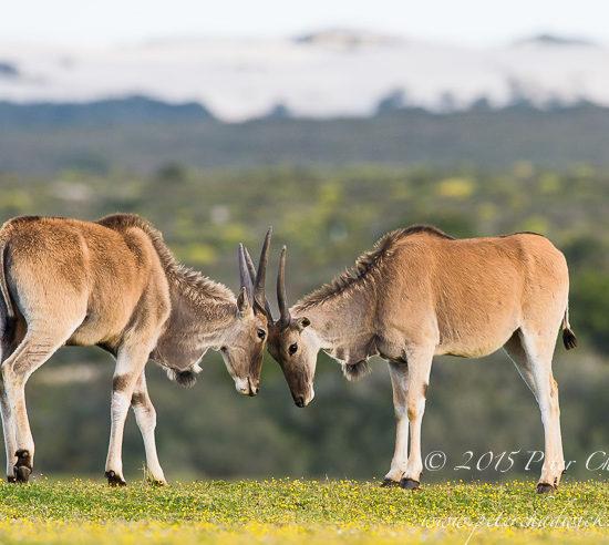 Young eland bulls sparring