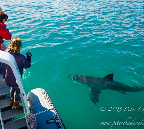 Tourists watching a Great White Shark swimming past their boat
