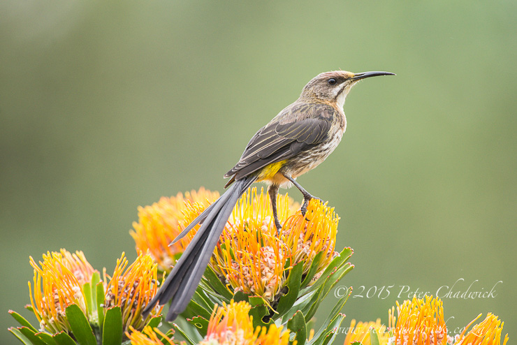 Male Cape Sugarbird perched on a Pin-Cushion flower