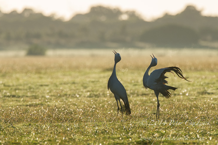 Blue Crane pair calling in unison at dawn and as part of pair bonding, Overberg, Western Cape, South Africa
