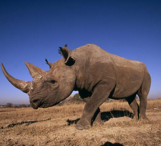 Diceros bicornis Black rhinoceros Africa