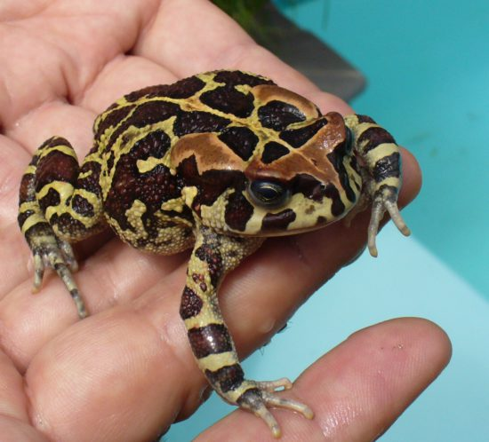Bufo_pantherinus_-_Western_leopard_toad